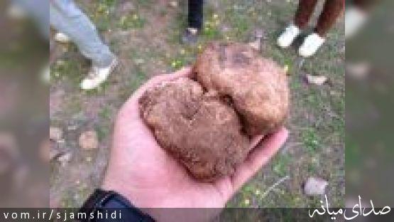 """دنبلان"" قارچی پرخاصیت و گرانقیمت + تصاویر"