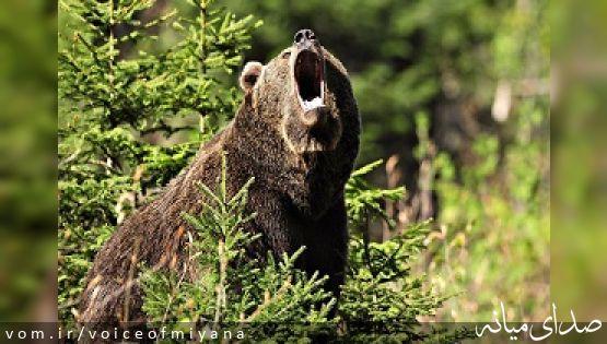 حمله خرس مادر به مرد ۴۱ساله در شهرستان میانه