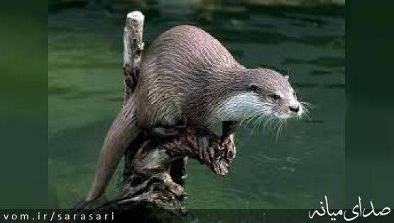 """""""شنگ"""" با ارزشترین پستاندار رودخانه قزل اوزن در معرض انقراض"""
